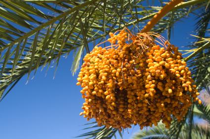 polen-palmera-datilera
